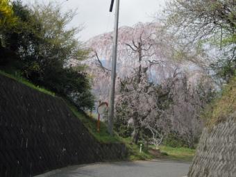 ゴルフ場を過ぎて曲がり角の枝垂れ桜180403