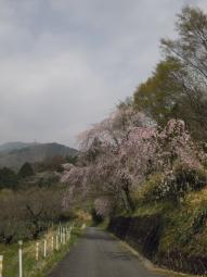 寄へ向かう道の途中の枝垂れ桜180403