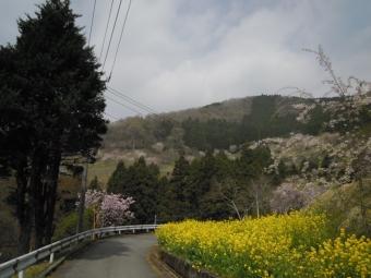 寄の山の桜180403