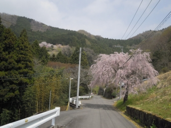 寄に降りる道の途中の枝垂れ桜180403