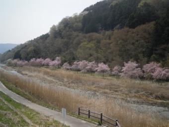 なかつ川沿い枝垂れ桜並木180403-1
