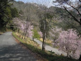 尺里峠からの下り桜大きくなっていた180403