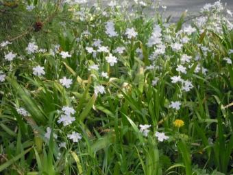 大口広場のシャガの花180403