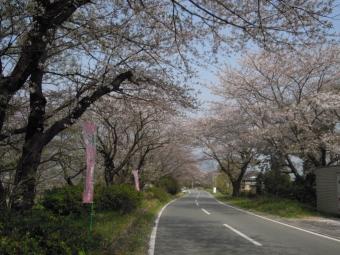 大口広場の桜この辺だけまだ終わっていない180403
