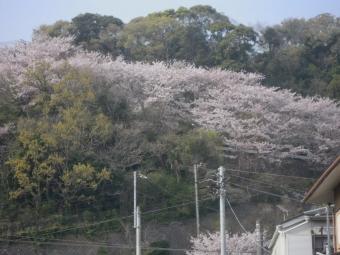 国府津の置かんぼ桜まだ見頃180403