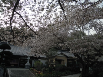 大磯相模原線h途中にあるお寺の桜180403