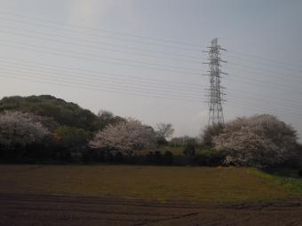 こんもりした大きな桜180403