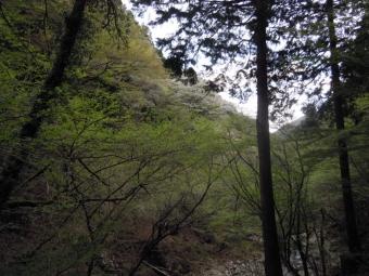 山桜-1-180408