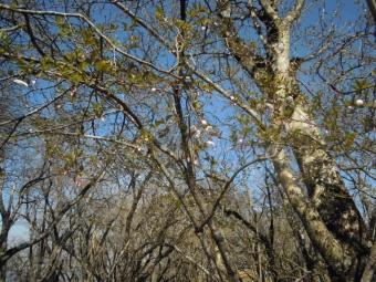 山頂付近のマメザクラ少し咲き始め180421