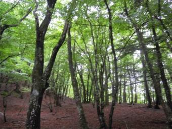 自然林の美しさこの辺はもう山ヒルごく少ない180519