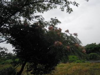 ねむの木180618