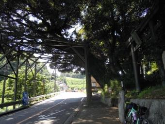 栃窪三島神社の大木180625