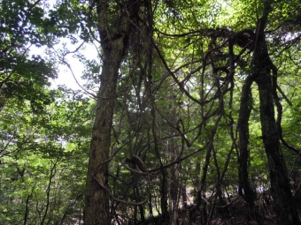樹林帯の途中で蔦?180713