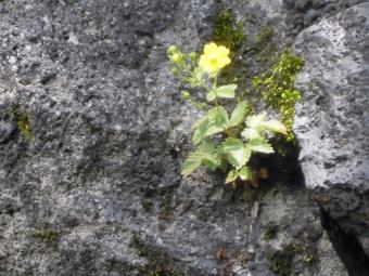 幕岩の傍に咲いていた180713