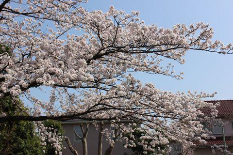 20180329-1近隣桜