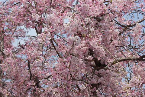 20180402薬園台の桜