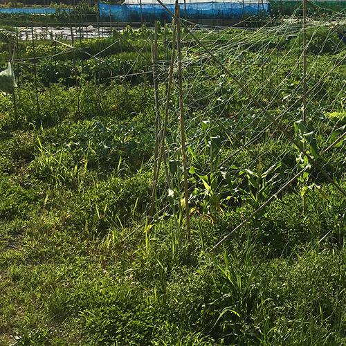 わが家の畑は雑草畑 雑草に負けるな野菜!①