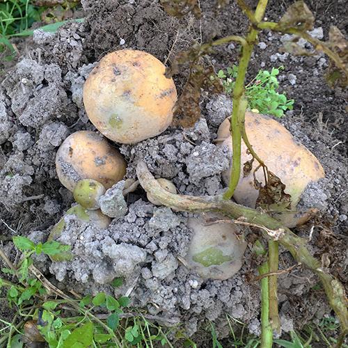 わが家の畑は雑草畑 雑草に負けるな野菜!⑥