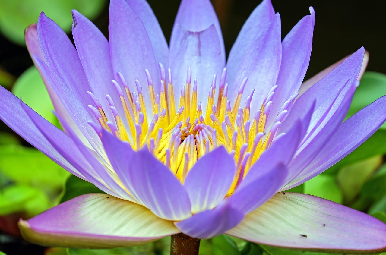 water-lily-1535906_1280.jpg