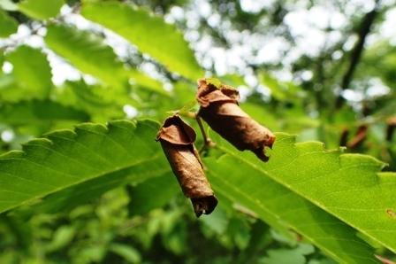 1.ケヤキの葉に作られたルイスアシナガオトシブミの揺籃s