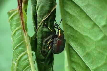 10.イタドリの葉で揺籃作成中のドロハマキチョッキリs