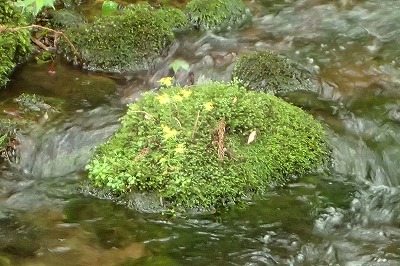 ヒメレンゲ