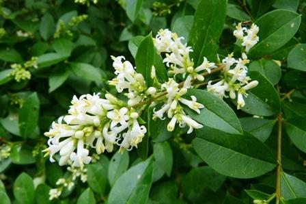 P1070314ミヤマイボタの花