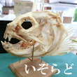 2018_いぞらど_logo