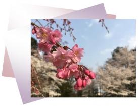 20180403桜