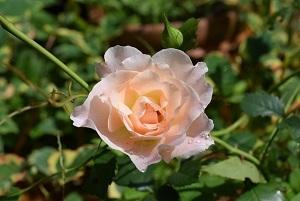 roze1.jpg