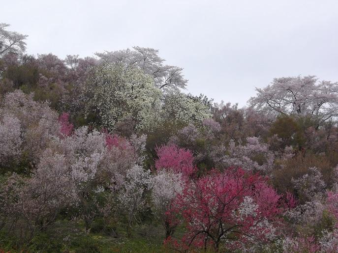 花見山公園①.