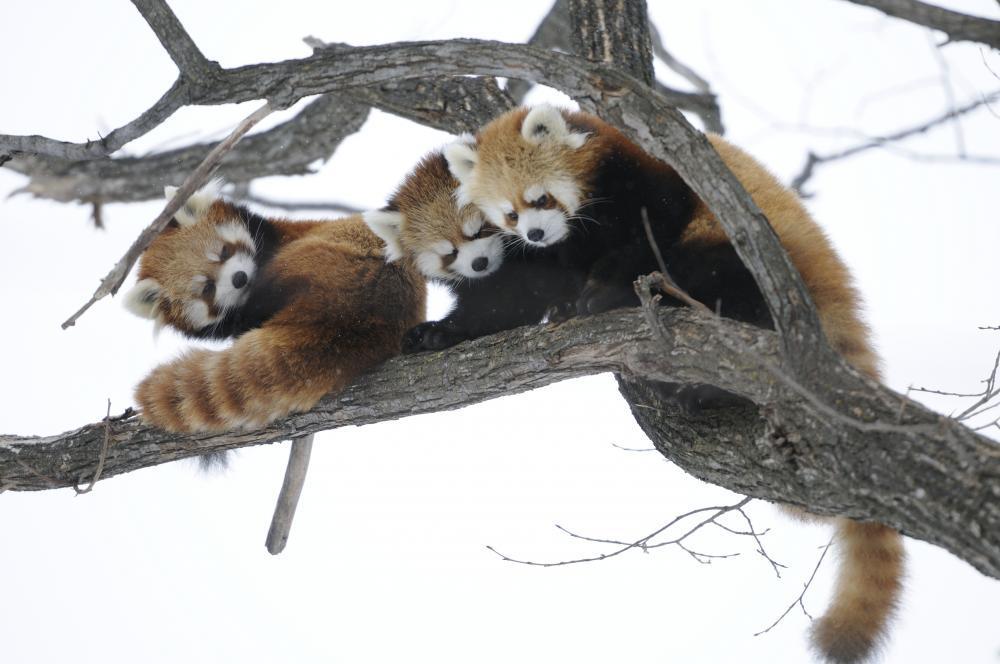 見守るレッサーパンダ