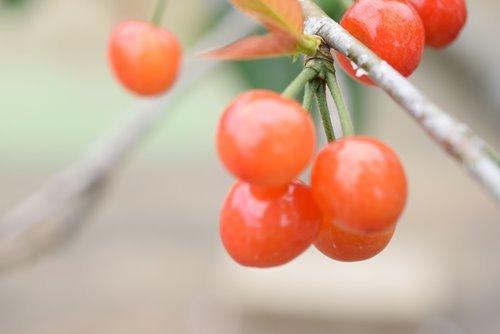 180502 cherry