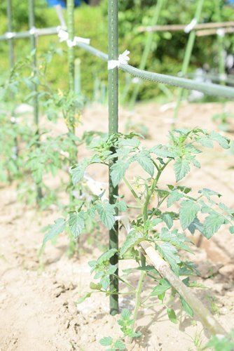 180530 トマト 花