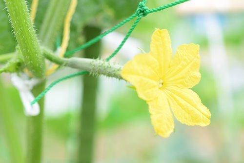 180614 きゅうり 花