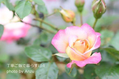 180502 rose