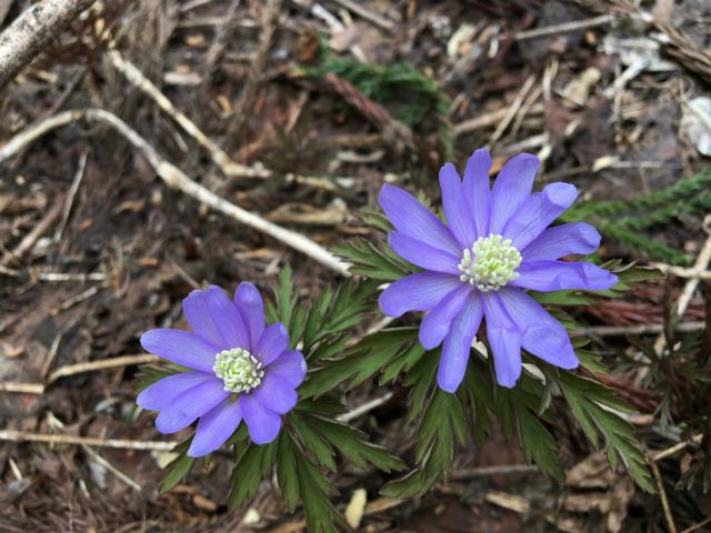 2018春 白峰のお花2