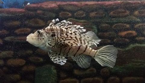 シマウマ魚