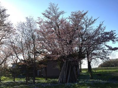 お弁当記録5週目・・・そして、やっと桜がやって来た