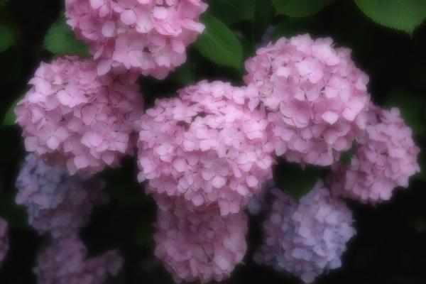 梅雨の花園