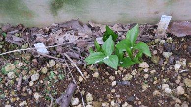 (八重咲き大花)エンレイソウの芽生え