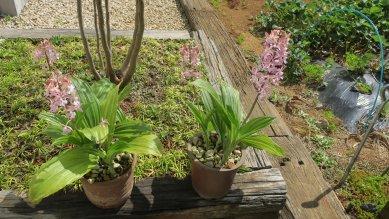 鉢植えのコオズが咲いた