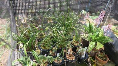 古典植物棚でコオズ咲く