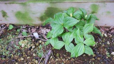 八重咲きオオバナエンレイソウの大量の発芽