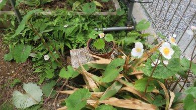 鉢植えと土捨て場の白雪ケシ