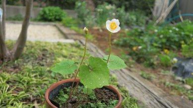 鉢植えの白雪ケシ