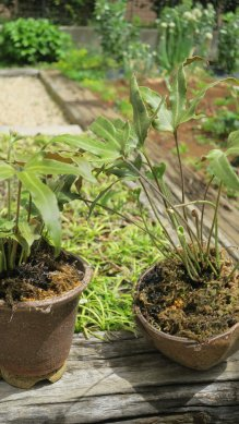 枯葉整理後のモミジヒトツバ