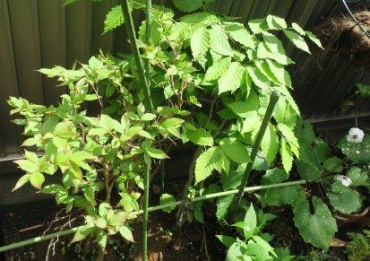 ヒメシャラとブナの混植寄せ植えの芽生え