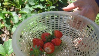 収穫中の苺inザル