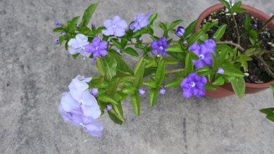 紫から白へ
